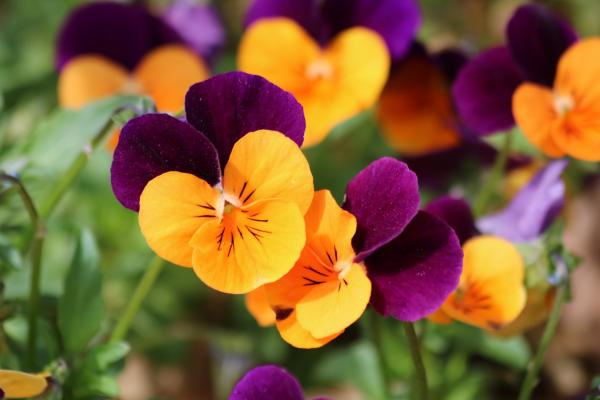 15+ Fall Plants for the Garden - Pansies: Hardy and Colorful Fall Plants