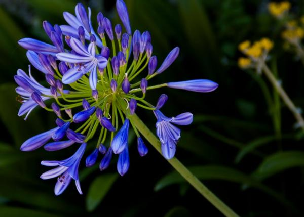Cold and heat resistant outdoor plants - Agapanthus or Agapanthus africanus