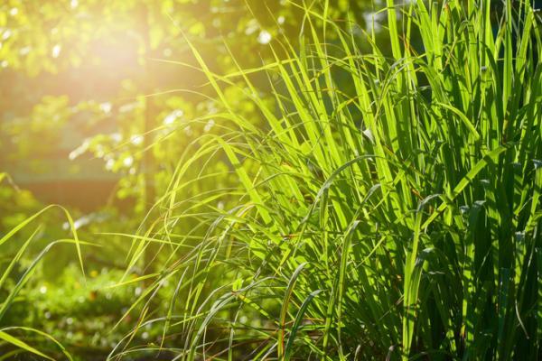 Heat and cold resistant outdoor plants - Citronella or Cymbopogon citratus