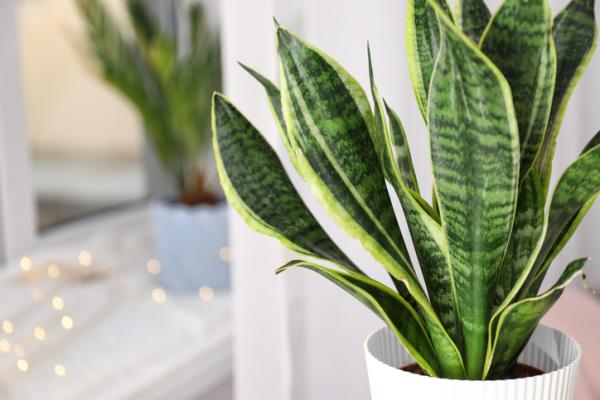 Plants for the bedroom according to Feng Shui - Sansevieria Trifasciata or mother-in-law's tongue plant