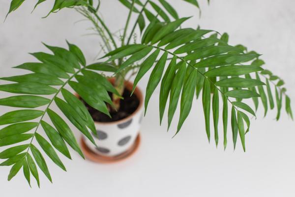 Types of palm trees - Chamaedorea elegans