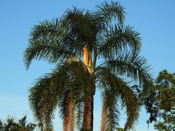 Types of palm trees - Syagrus romanzoffiana