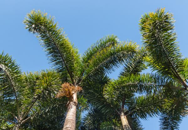 Types of palm trees - Wodyetia bifurcata