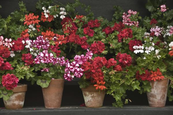 Prune geraniums: how and when to do it - When to prune geraniums