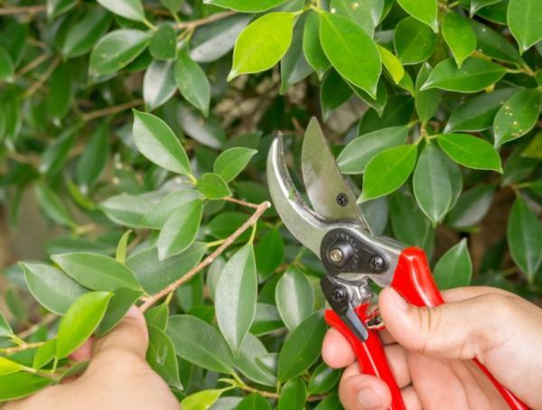 How to prune a ficus - How to prune a ficus benjamina