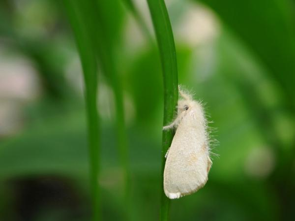 Whitefly: how to eliminate it - How to identify the fly - characteristics and symptoms in plants