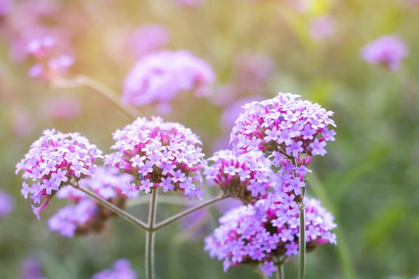 Verbena plant: care - Light for the verbena plant and its location