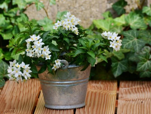 Potted jasmine: care and how to prune it - Climate, light and location