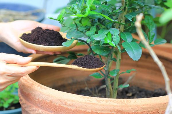 Potted jasmine: care and how to prune it - Potted jasmine: compost