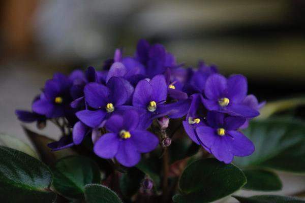 16 small plants - African Violet