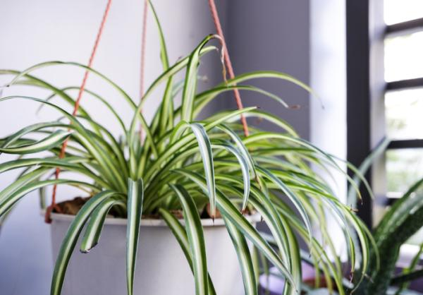 Moisture Absorbing Plants - Spider or Ribbon Plant