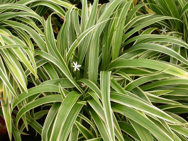 Good luck plants according to Feng Shui - Chlorophytum or love bond