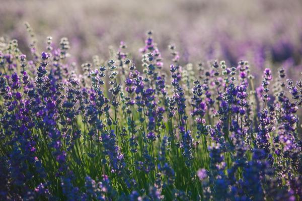 Good luck plants according to Feng Shui - Lavandula angustifolia or lavender