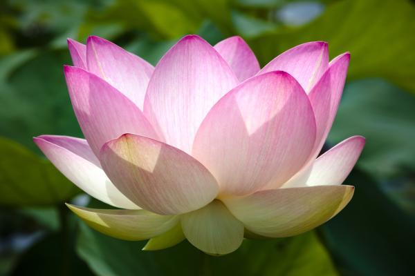 Good luck plants according to Feng Shui - Nelumbo nucifera or lotus flower