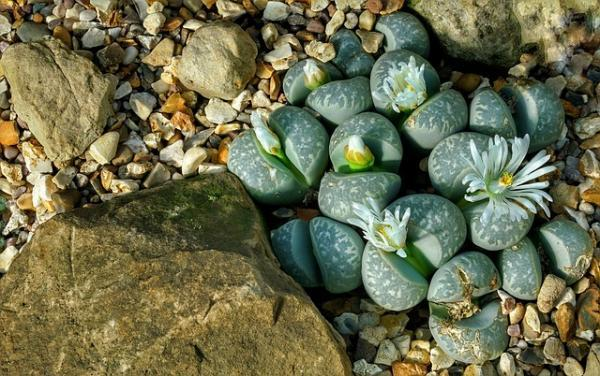 Succulents with flowers: names, characteristics and photos - Cactus stone (Lithops)