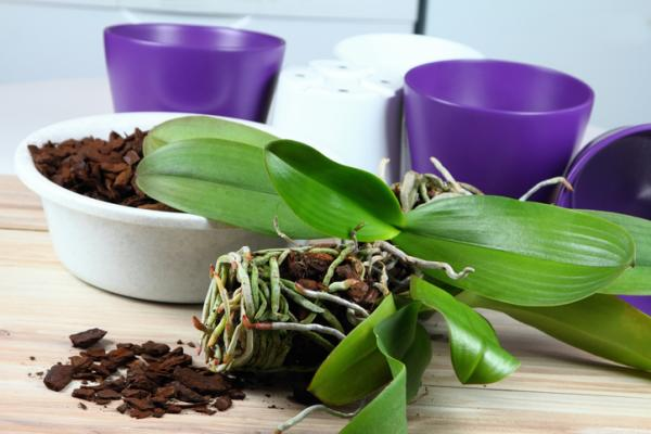 How to prune an orchid - How to prune an orchid step by step