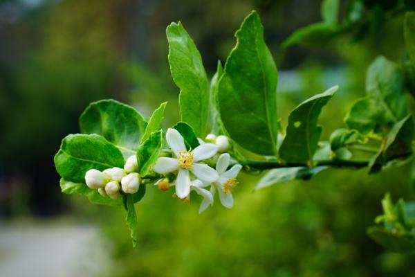Why do lemon tree blossoms fall off - When does a lemon tree bloom?