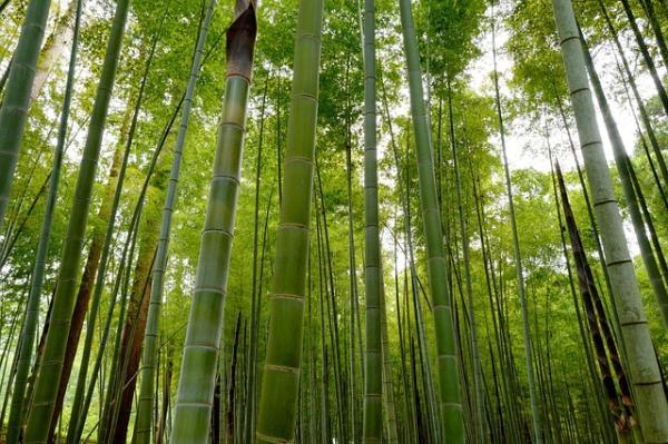 Types of bamboo - Bambú Bambusa