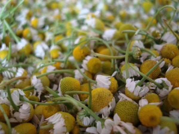 Chamomile plant: care and what it is for - How to take chamomile