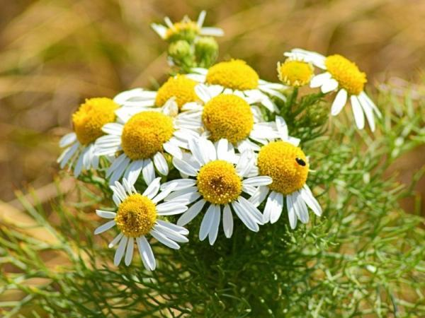 Chamomile plant: care and what it is for - What is the chamomile plant for - benefits and uses