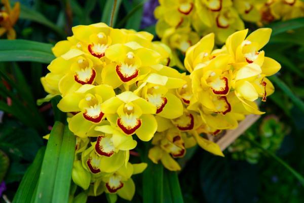 Cymbidium orchid: care - Watering the Cymbidium orchid