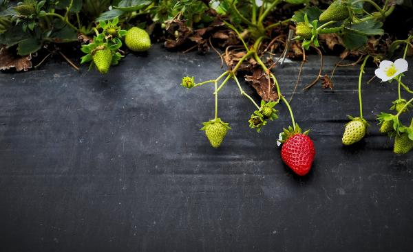 Sowing and planting strawberries: when and how to do it - When and how to plant strawberries