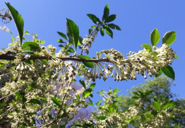 24 climbing plants - Dama de noche, a very aromatic climbing plant