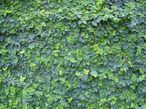 24 climbing plants - In love with the wall or Ficus pumila