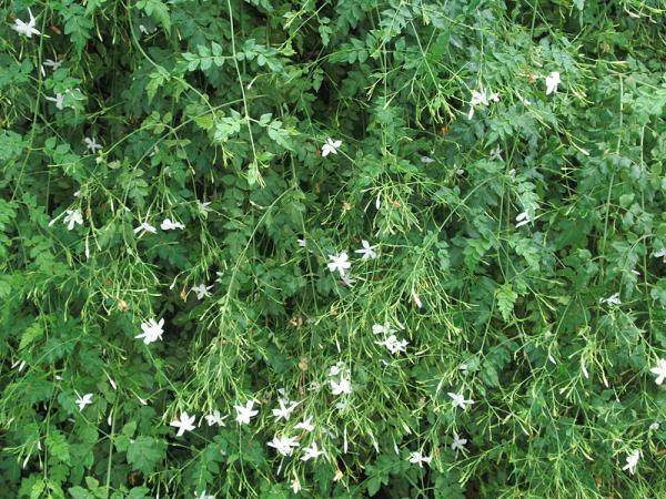 24 climbing plants - bush royal jasmine