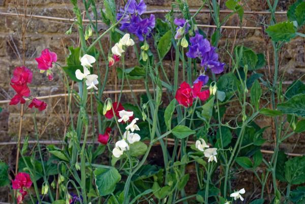 24 climbing plants - Lathyrus odoratus or flower pea