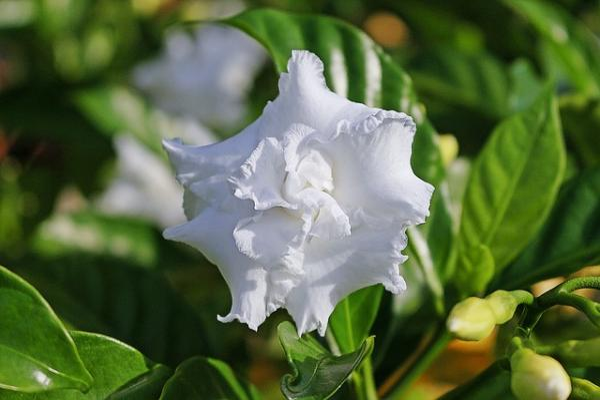 10 White Garden Flowers - White Gardenias