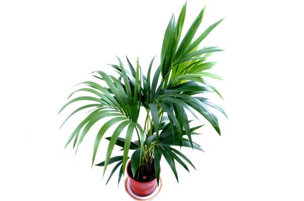 25 Tall Indoor Plants - Palm Trees, Tall Plants for Undemanding Indoor Plants