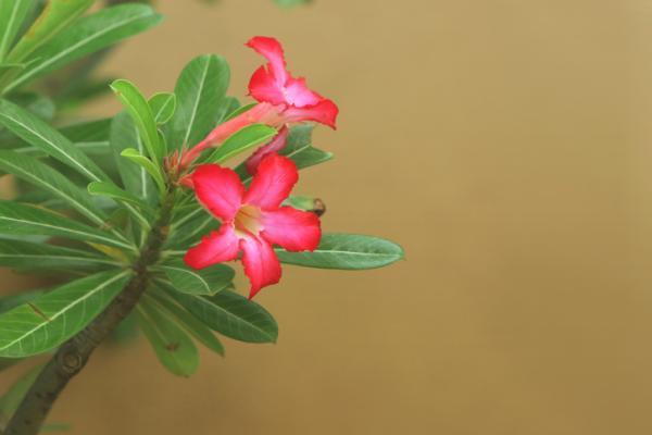 25 Tall Indoor Plants - Desert Rose