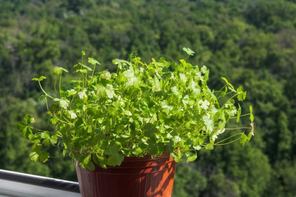 How To Plant Parsley - How To Plant Potted Parsley With Seeds
