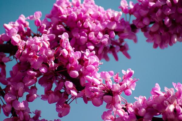20 ornamental trees - Tree of love, one of the ornamental trees with pink flowers