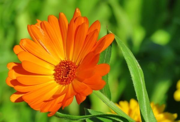 22 spring flowers - Calendula