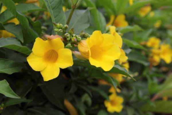 +20 plants with yellow flowers - Canarian flower or allamanda