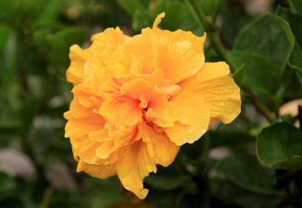 +20 plants with yellow flowers - Rare yellow flowers: the double Chinese rose
