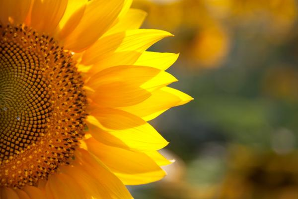 +20 plants with yellow flowers - Sunflower, the best known yellow flower