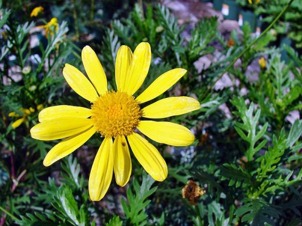 +20 plants with yellow flowers - Yellow-flowered daisy