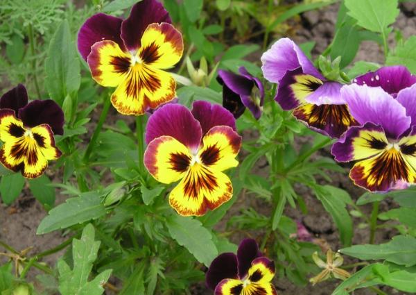 22 spring flowers - Pansy