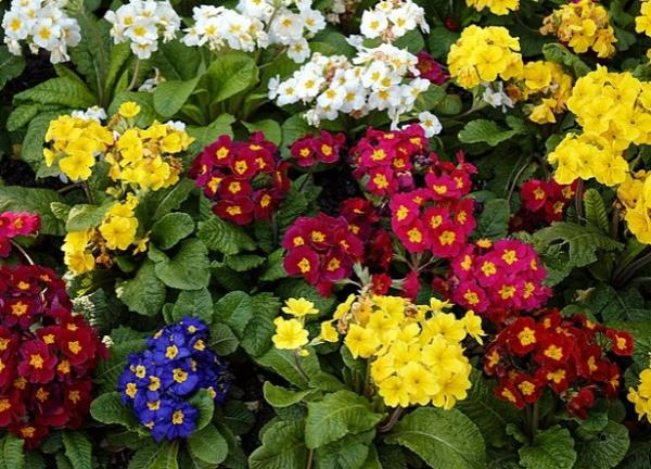 22 spring flowers - Primrose, one of the most famous spring flowers