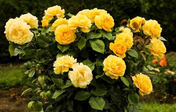 +20 plants with yellow flowers - Yellow roses