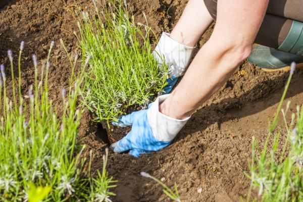 How To Plant Lavender - How To Plant Lavender In Soil