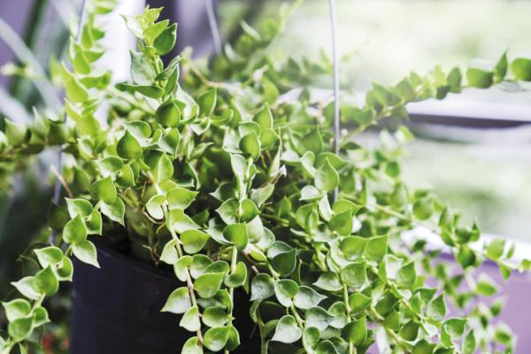 29 indoor hanging plants - Dischidia