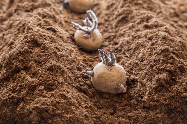 How to Plant Potatoes - How to Plant Potatoes or Potatoes - Planting Steps