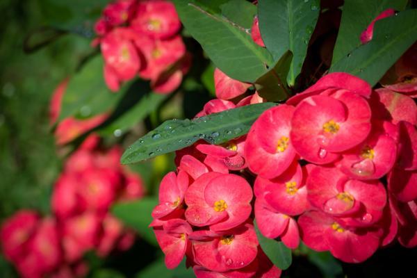 Corona de Cristo: care - Watering the Corona de Cristo plant