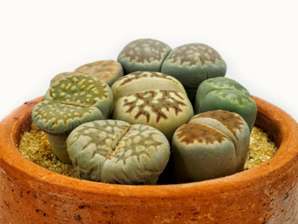 Types of cacti: names and care - Lithops or stone cactus, one of the most curious species of cacti