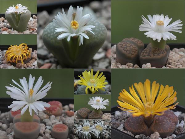 Stone cactus or lithops: care - How to make a stone cactus bloom