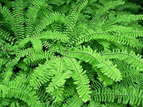 Growing and caring for ferns - Characteristics of ferns